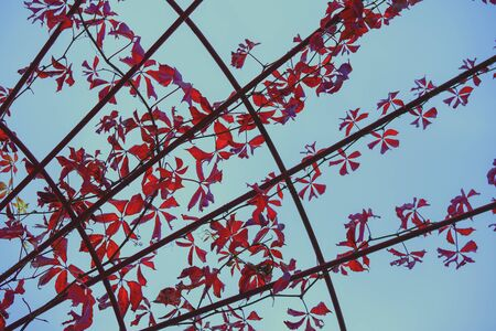 Picturesque red leaves of wild grapes weaving on a metal arch. Metal arch of braided twisted branches with red leaves, blue sky. Natural graphic background Imagens - 129626286