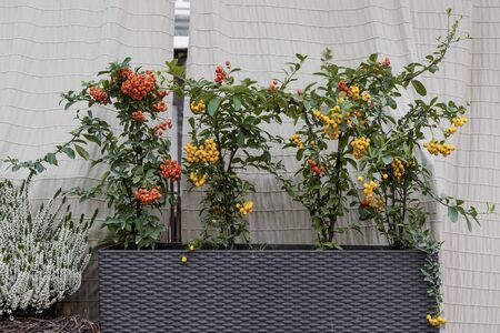 Colorful varieties of growing pyracantha, picturesque background. Harvest holidays, Thanksgiving Day, Halloween concept