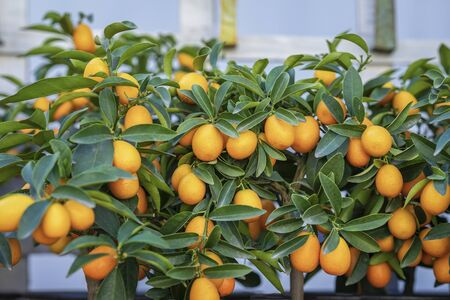 Rich fruit harvest exotic kumquat fruits on mini trees in greenhouse. Natural background