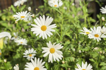 Beautiful wild daisys flowers in the wind. Summer day after rain. Concept of seasons, ecology, green planet, natural green pharmacy, perfumery Imagens