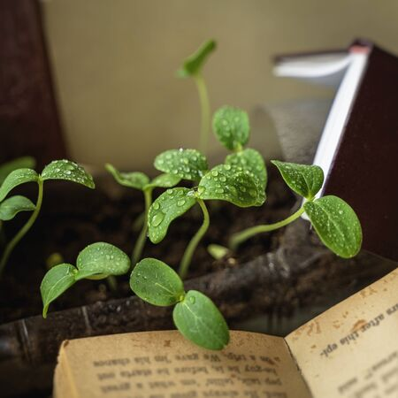 Green sprouts with drops of dew, rain among old open books. Concept of knowledge, cognition and enlightenment, ecology