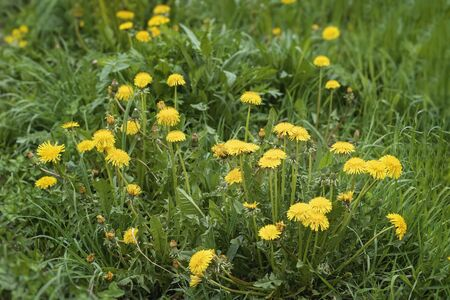 Wild blooming yellow dandelions flowers, selctive focus. Natural spring background
