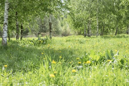 Forest glade with bright blooming yellow dandelions. Sunny day. Natural spring summer green background