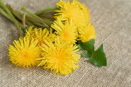 Colorful bouquet of bright yellow dandelions, flowers close-up on burlap, canvas, rustic background, spring concept, seasonal festivals