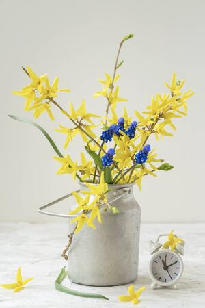 Bouquet of fresh yellow flowers of Forsythia in old vintage aluminium can and alarm clock, rural background, concept of arrival of spring or summer