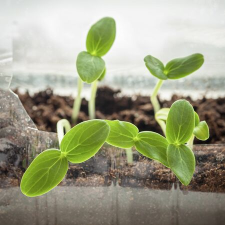 Seedling are growing out from soil with organic compost fertilizer, ecology, cultivation, home agriculture, horticulture concept