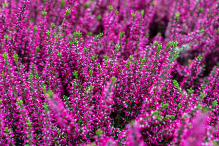 Bright colorful flowers of purple blooming erica, selective focus. Natural bright background