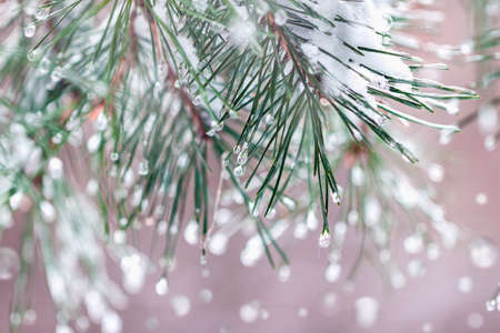 Christmas blurred background with fir trees with hoarfrost. Frosty winter natural banner, snowy pine branches, snow bokeh Standard-Bild