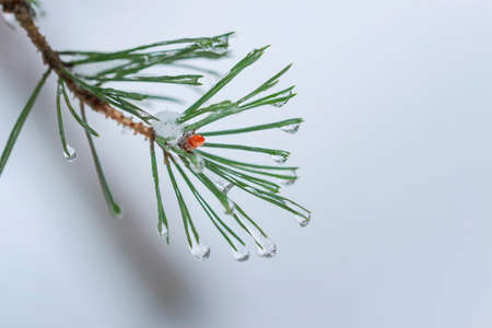 Fir branch in hoar frost on cold morning forest, snowy background, copy space