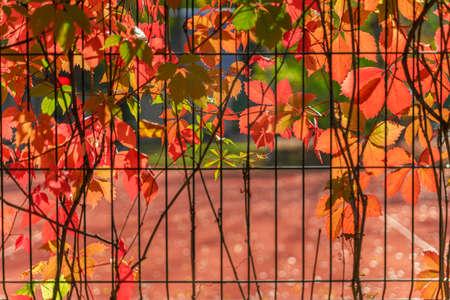 Autumn colorful creeper virginia, bright foliage, picturesque shades. Fall season, natural background Standard-Bild
