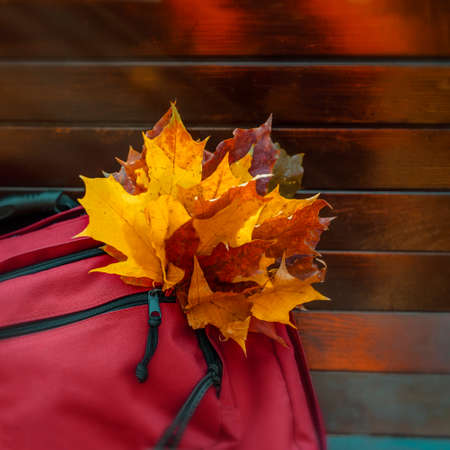 Bouquet of autumn colorful maple leaves in a bag pocket. Romantic fall mood concept