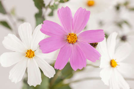 Natural floral light background, tender cosmos flowers close-up. Delicate backdrop, wallpaper, postcard