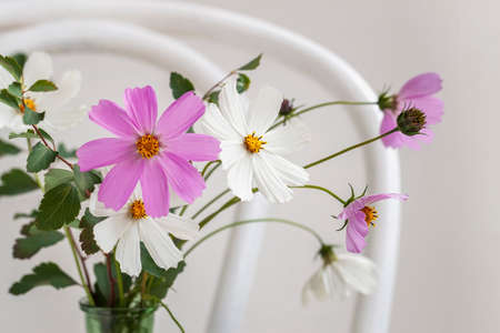 Bouquet of delicate cosmos flowers on old white viennese chair, still life on light background.
