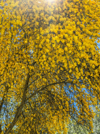 Lit by the rays of the sun golden Partium junceum or Spanish broom bushes abundantly blooming in nature, vertical background