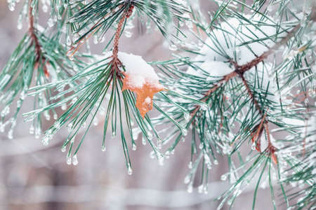 Coniferous branches covered with snow, last autumn leaf, natural winter background Standard-Bild