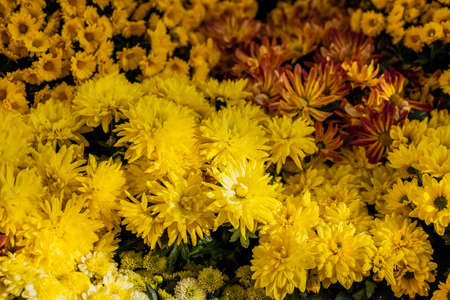 Rich choic of colorful chrysanthemum. View from above. Natural background. Selective focus.