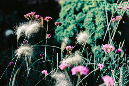 Yellow grass with fluffy ears, spikes and blurred bright violet flowers, dark backgrop. Concept of colorful nature, seasons, environment, ecology