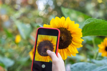 Smartphone in the hands of a girl making a bright photo of bright sunflower closeup