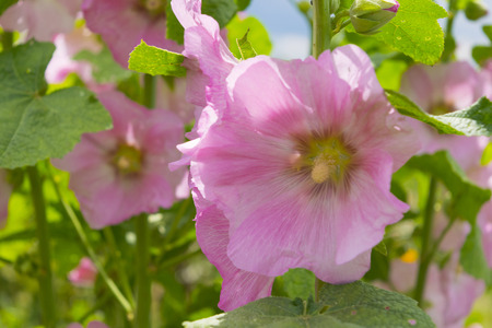 showy: Pink mallow flowers. Close up view of the blooming a hollyhock flower. Blooming Hibiscus Stock Photo