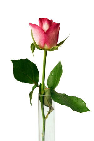 Single pink rosebud in glass vase on white background Stock Photo