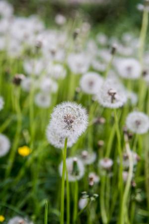 Silky dandelion head in grass.