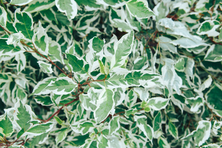 Lush foliage host with white edges in the garden. Euonymus japonica