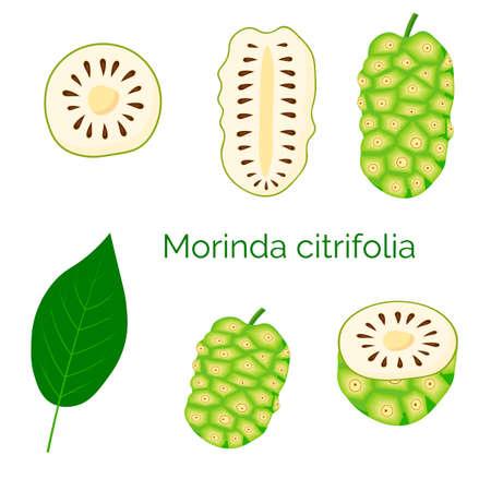 Set of morinda citrifolia, noni fruit, superfood, isolated on white background. Organic healthy food. Vector cartoon illustration.