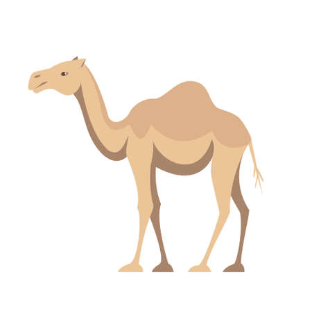 One humped camel animal of Australia in flat style isolated on white background. Stock vector illustration. 向量圖像