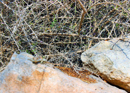 stared: Lizard on the stone