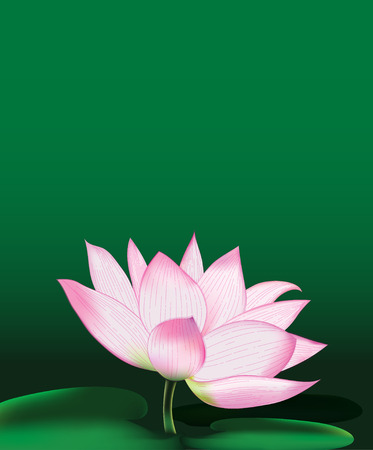 Lotus flower, large water lily, vector illustration Illustration