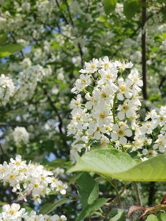 Bird cherry blossom branch. Northern tree with white flowers.