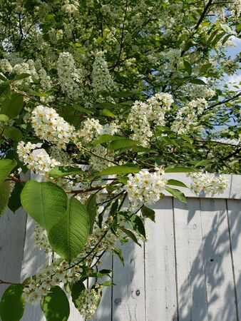 Blooming bird cherry tree over wood fence. Northern tree with white flowers.