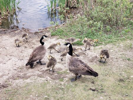 Family of Canada (Branta canadensis) on Pigeon Lake, Jackie Parker Park, Canada, Alberta.