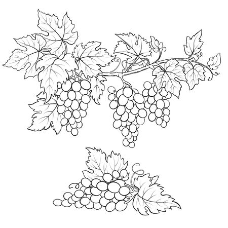 Bunches of grape. Black and white sketch. Hand drawn illustration.  イラスト・ベクター素材