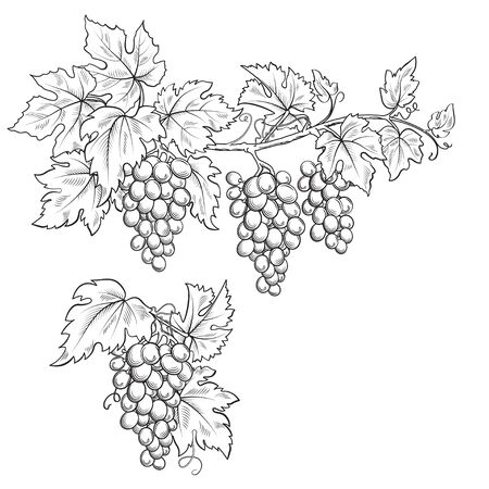 Bunches of grape. Black and white sketch, line art. Hand drawn illustration. Foto de archivo - 127679677