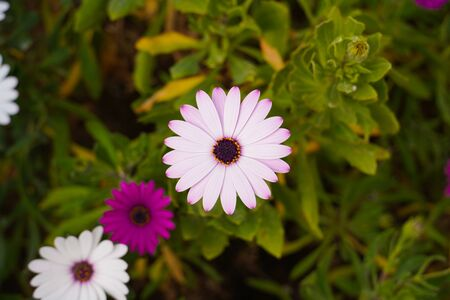 Osteospermum. Genus of annual and perennial grasses, shrubs and shrubs of the family Astrovidae, or Compositae. Close-up photo of white and pink flowers.