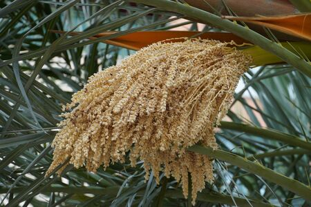 Syagrus romanzoffiana, the queen palm, blooming date palm. Popular ornamental garden tree with pinnate leaves.
