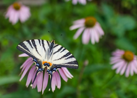 nectaring: Swallowtail butterfly on the pink flower in the garden