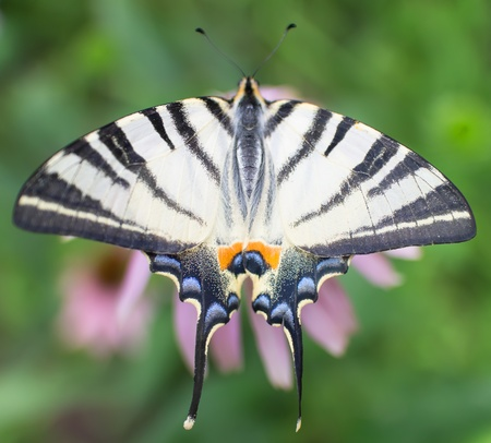 nectaring: Swallowtail butterfly on flower Stock Photo