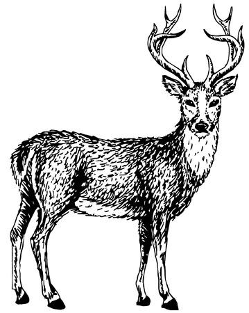 Artistic sketch of young wild deer  Vector illustration