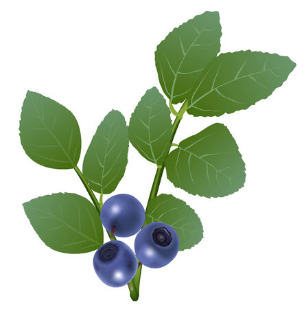 whortleberry: Branch of blueberry with berries and leaves Illustration