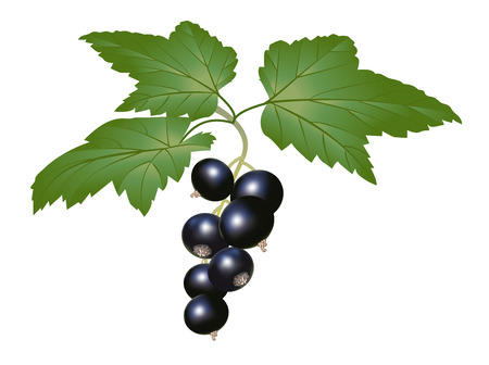blackcurrant: Branch of blackcurrant with leaves isolated on white Illustration