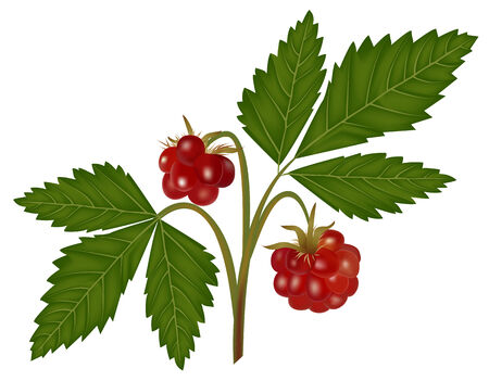 bramble: Illustration of wild northern berry - arctic bramble