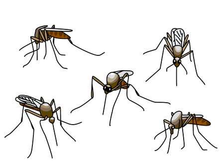 aedes: Set of black biting mosquitoes isolated on white