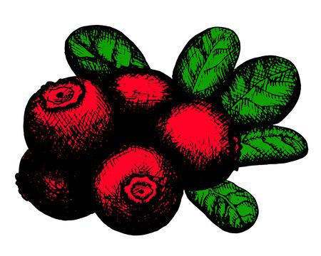 whortleberry: Hand drawn artistic sketch of red lingonberry