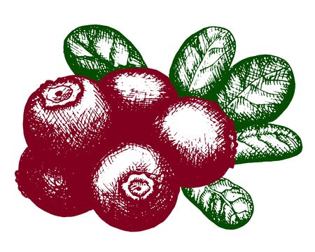 cranberry illustration: Hand drawn artistic sketch of red lingonberry