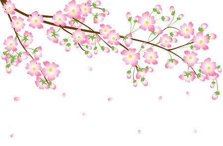 flor de cerezo: Cherry blossom branch isolated on white background