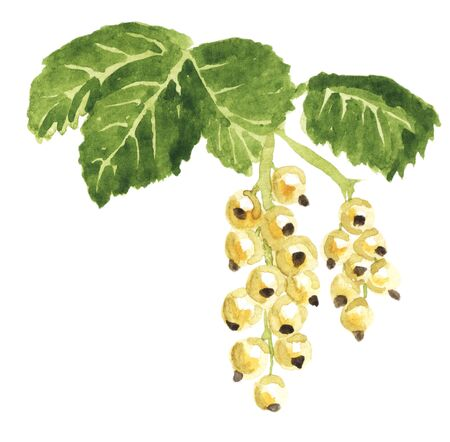 White currant hand drawn with watercolors isolated on white