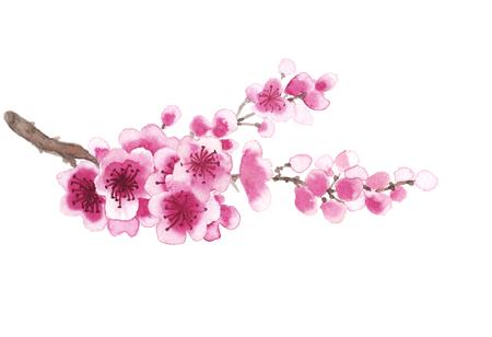 Branche Aquarelle dessinée à la main de sakura isolé sur blanc Banque d'images - 55324785