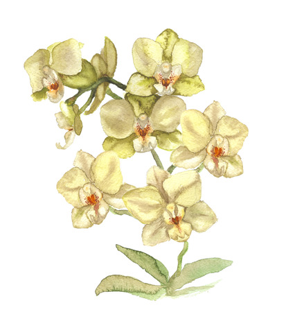 garden flowers: Hand drawn watercolor illustration of white orchid Stock Photo